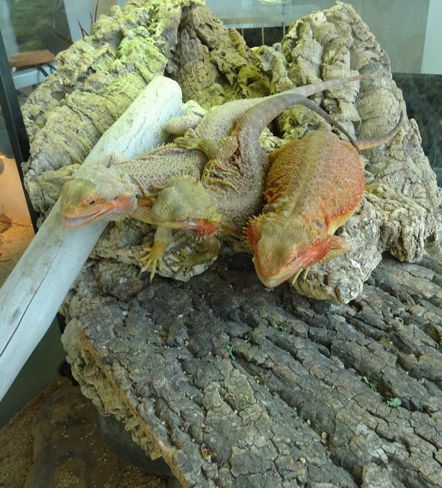 フトアゴヒゲトカゲドラゴン