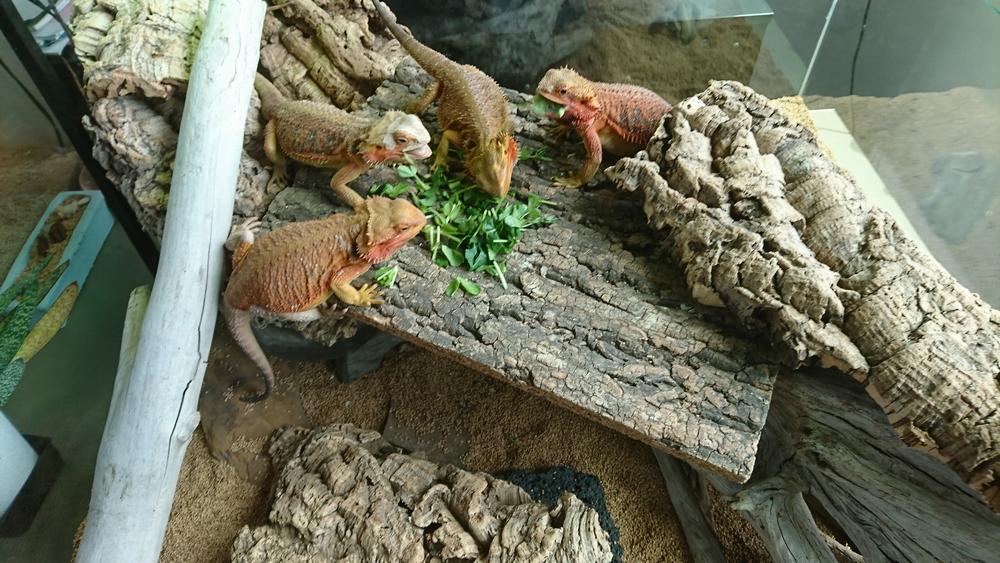 フトアゴヒゲトカゲかわいい