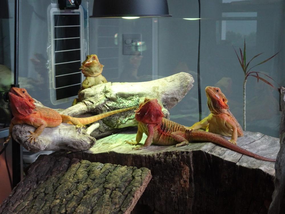 フトアゴヒゲトカゲの四天王