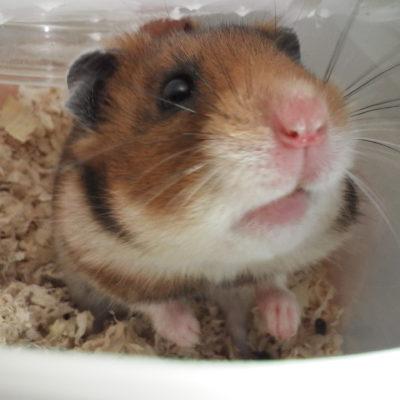 かわいいハムスターの顔画像