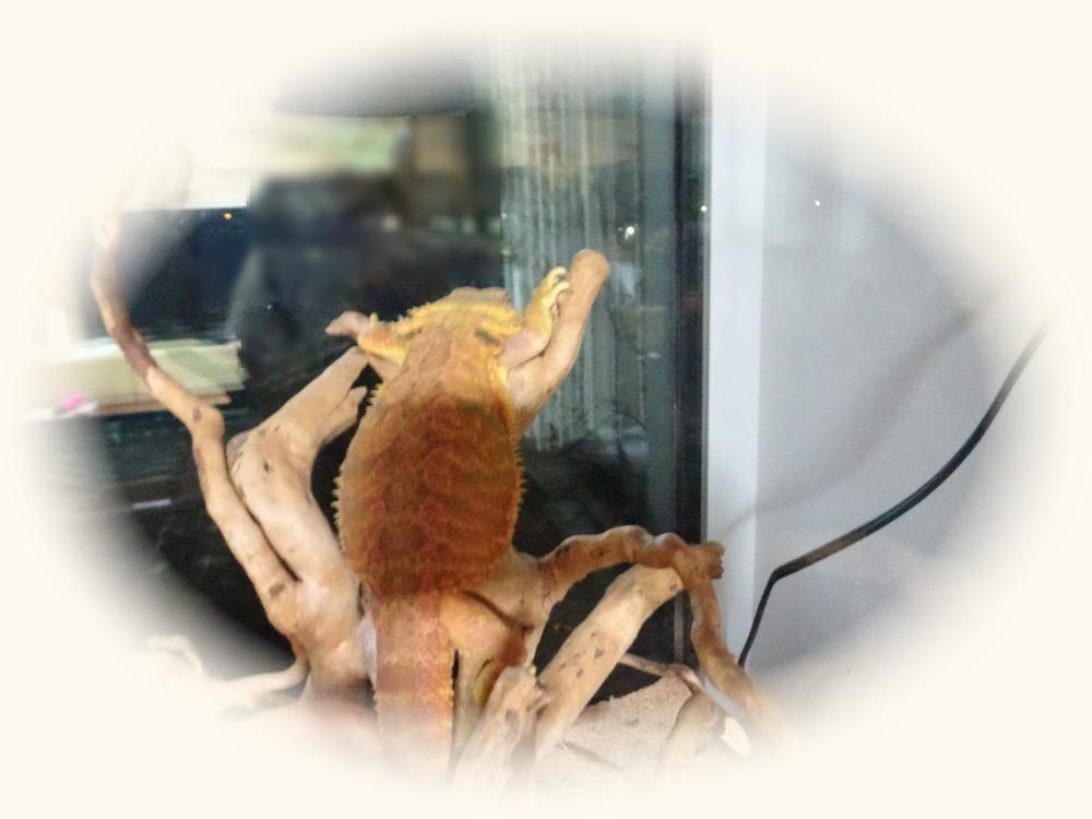 フトアゴヒゲトカゲ 面白画像