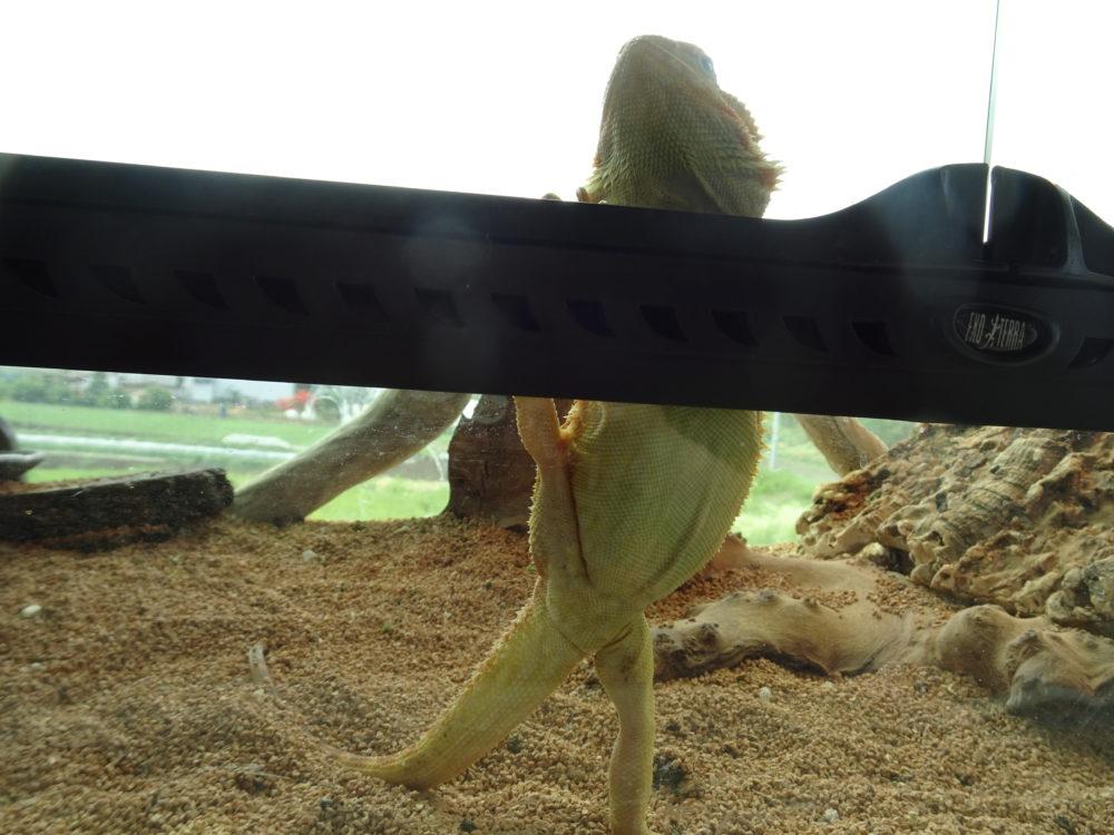 フトアゴヒゲトカゲかわいい画像
