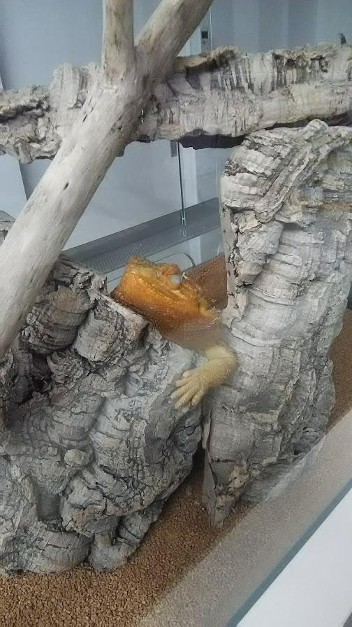 フトアゴヒゲトカゲ寝姿