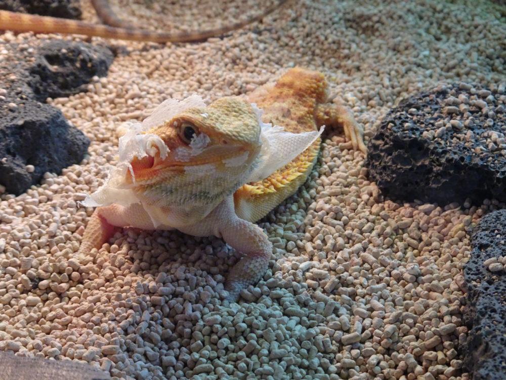 フトアゴヒゲトカゲ 画像