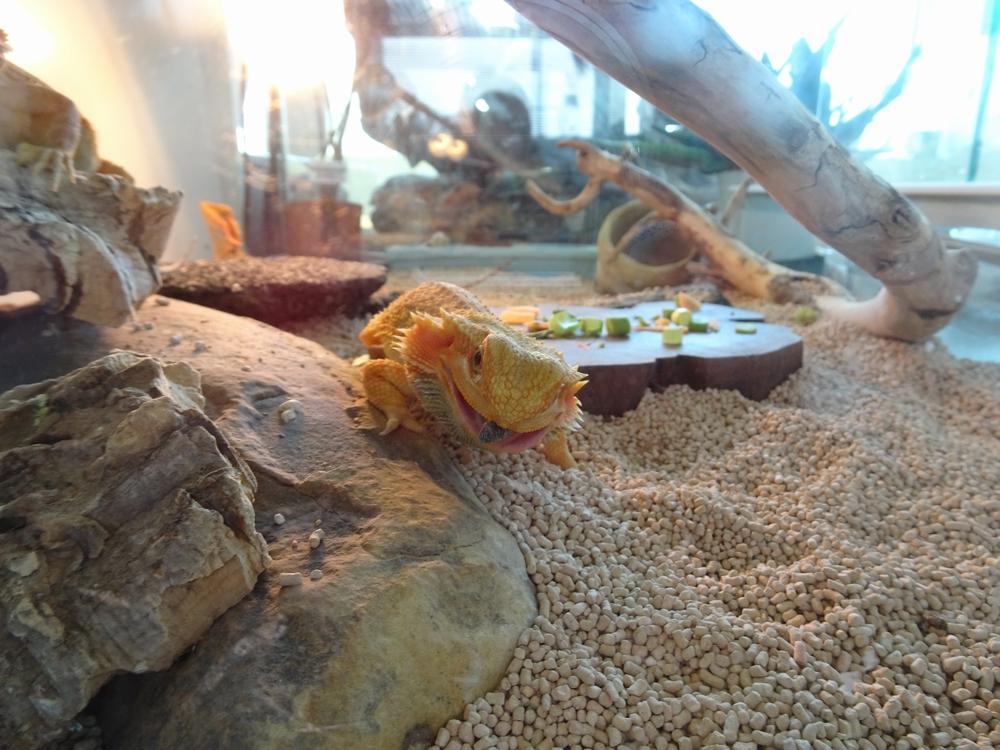 フトアゴヒゲトカゲ 目の前のエサを食べる画像