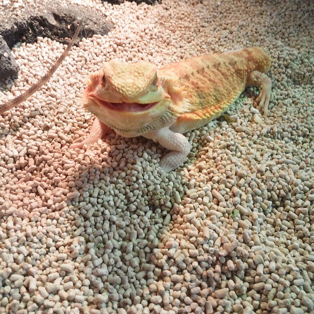 フトアゴヒゲトカゲ スマイル画像