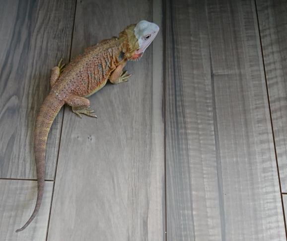 フトアゴヒゲトカゲ 脱皮
