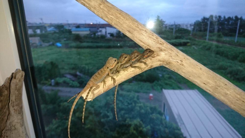 流木にのるフトアゴヒゲトカゲの赤ちゃん