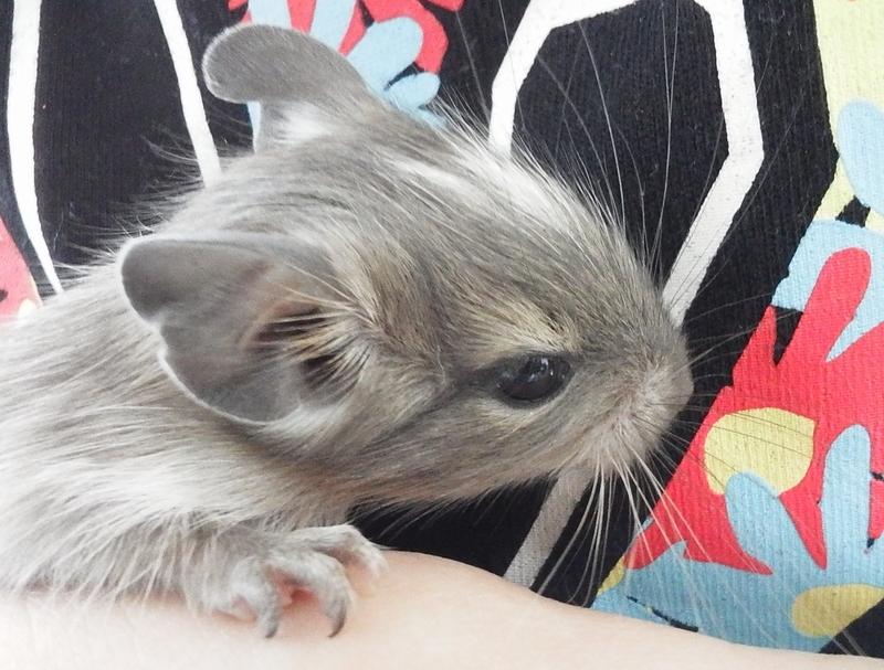 デグー 赤ちゃん