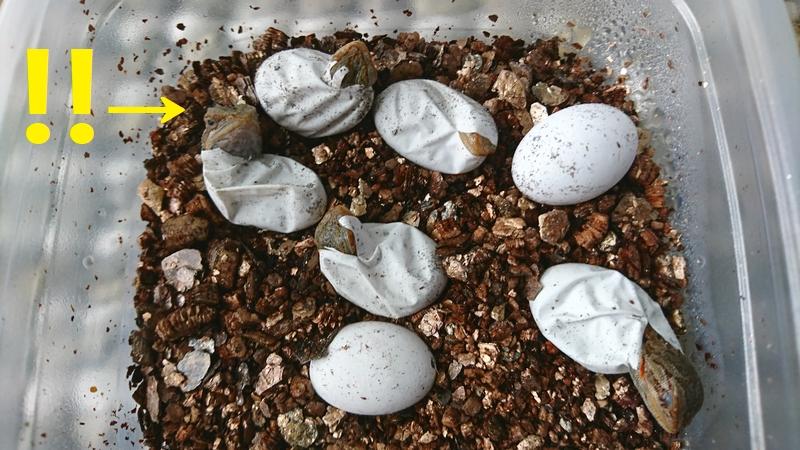 フトアゴヒゲトカゲ 孵化