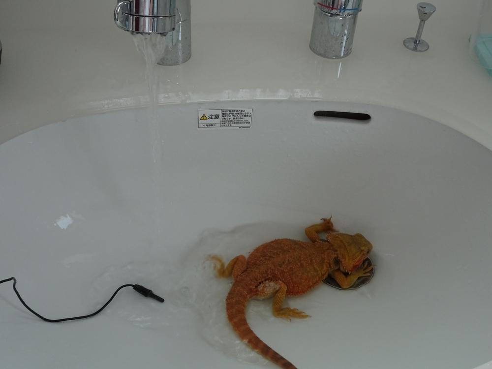 フトアゴヒゲトカゲ温浴