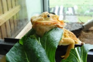 フトアゴヒゲトカゲ かわいい