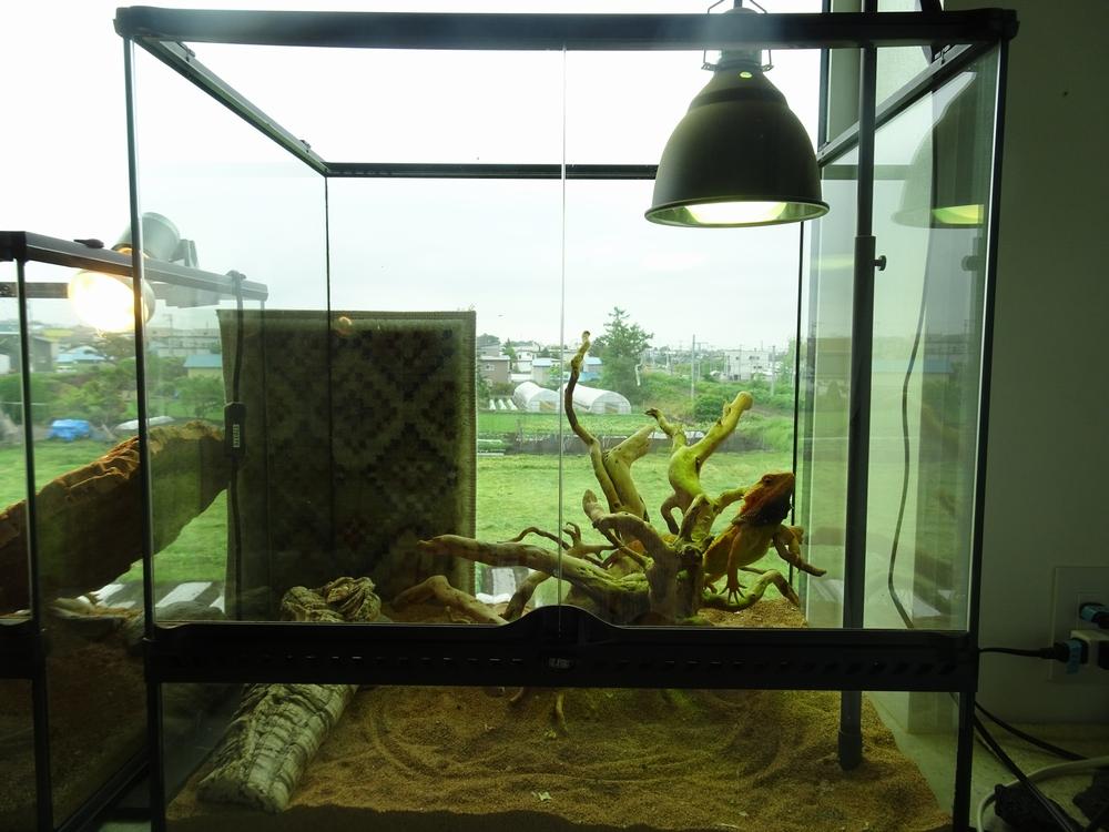 フトアゴヒゲトカゲ飼育環境