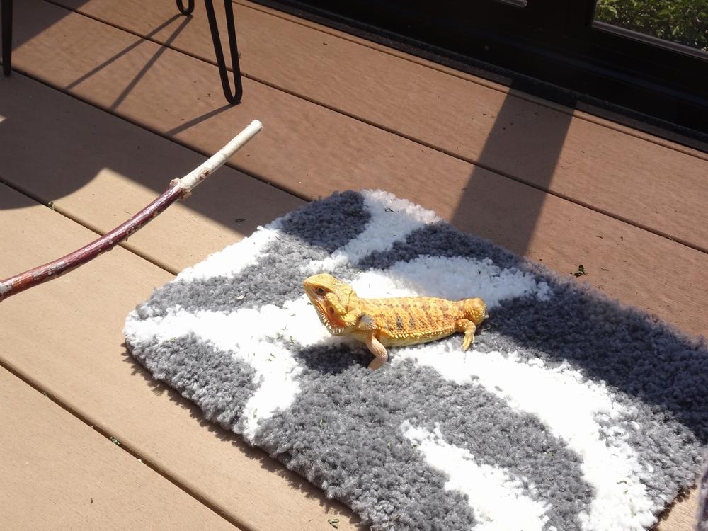 フトアゴヒゲトカゲ 日光浴