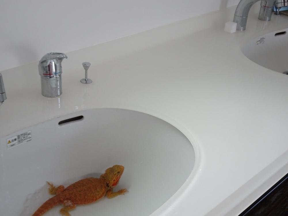 フトアゴヒゲトカゲ 洗面所