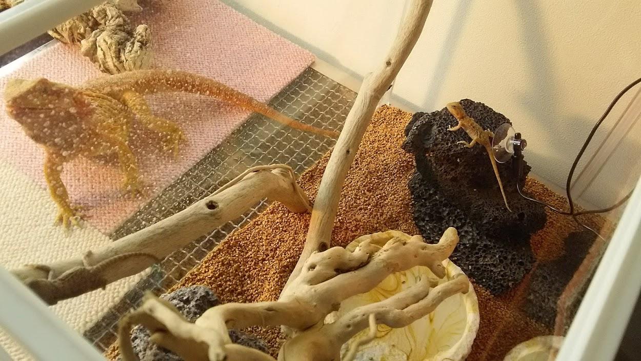 フトアゴヒゲトカゲ 赤ちゃん