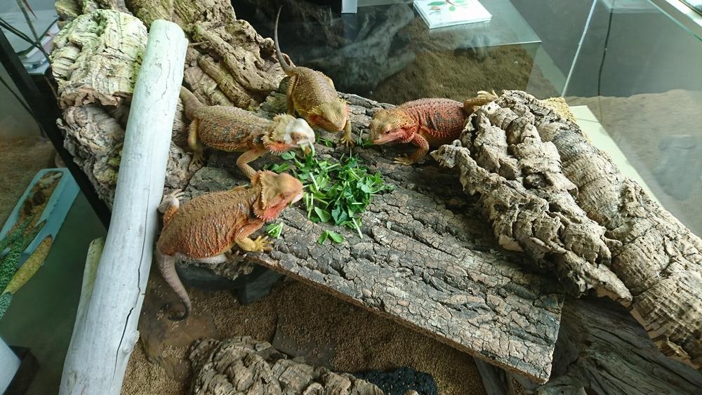 フトアゴヒゲトカゲ かっこいい
