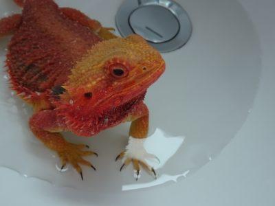 フトアゴヒゲトカゲ 温浴
