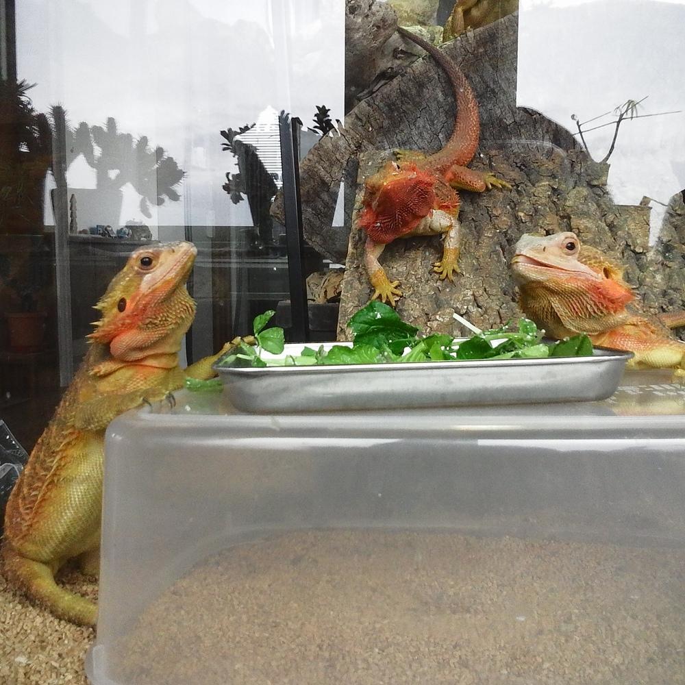 フトアゴヒゲトカゲ 野菜