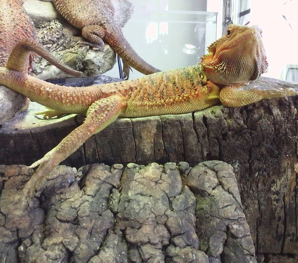 フトアゴヒゲトカゲ かわいい画像