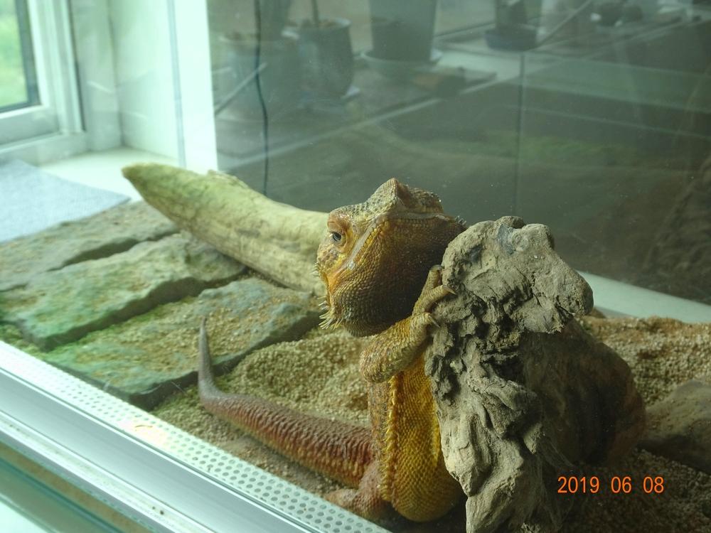 フトアゴヒゲトカゲ キュート