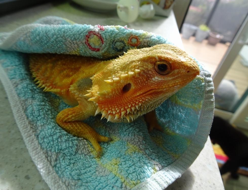 フトアゴヒゲトカゲ お風呂