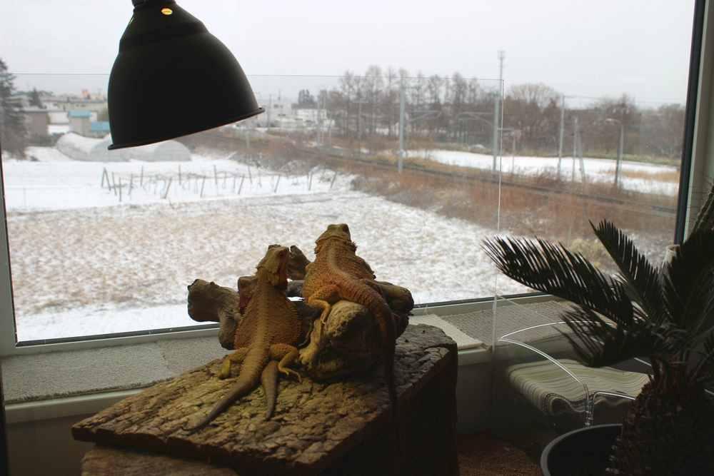 フトアゴヒゲトカゲ 冬