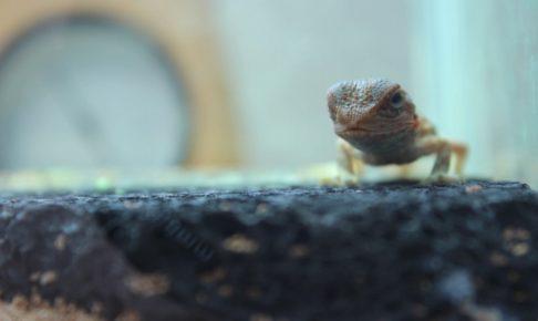 フトアゴヒゲトカゲ 孵化後