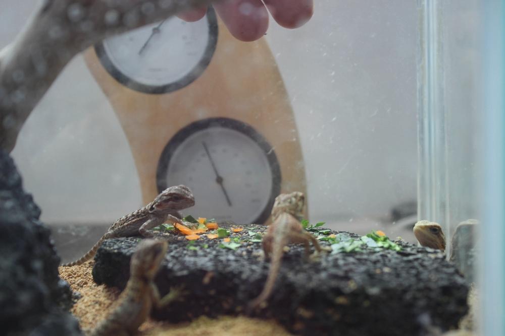 フトアゴヒゲトカゲ 孵化後 エサ