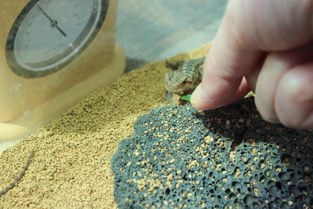 フトアゴヒゲトカゲ 孵化後のエサ