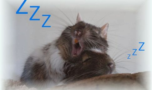 デグー 昼寝