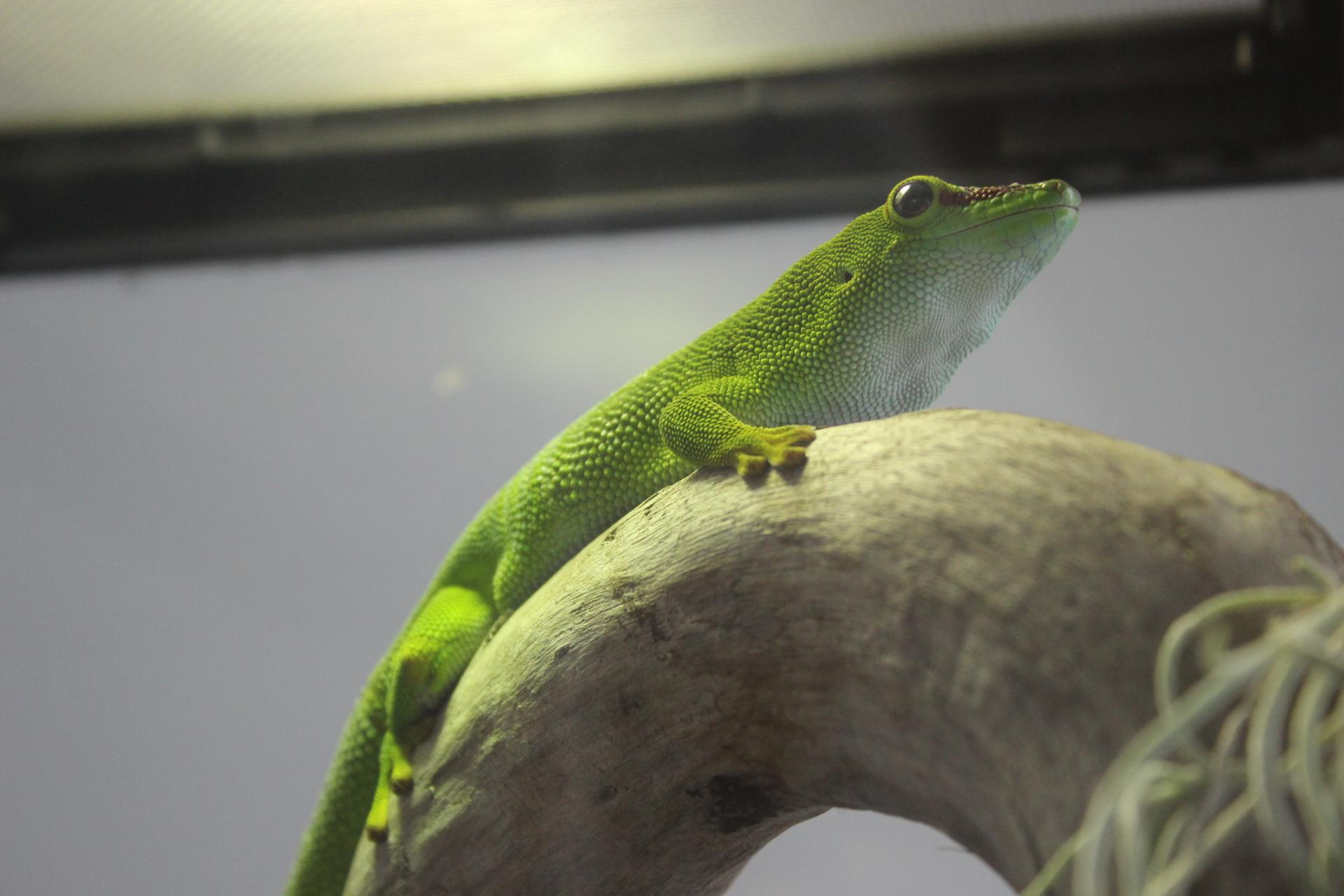 緑のヤモリ