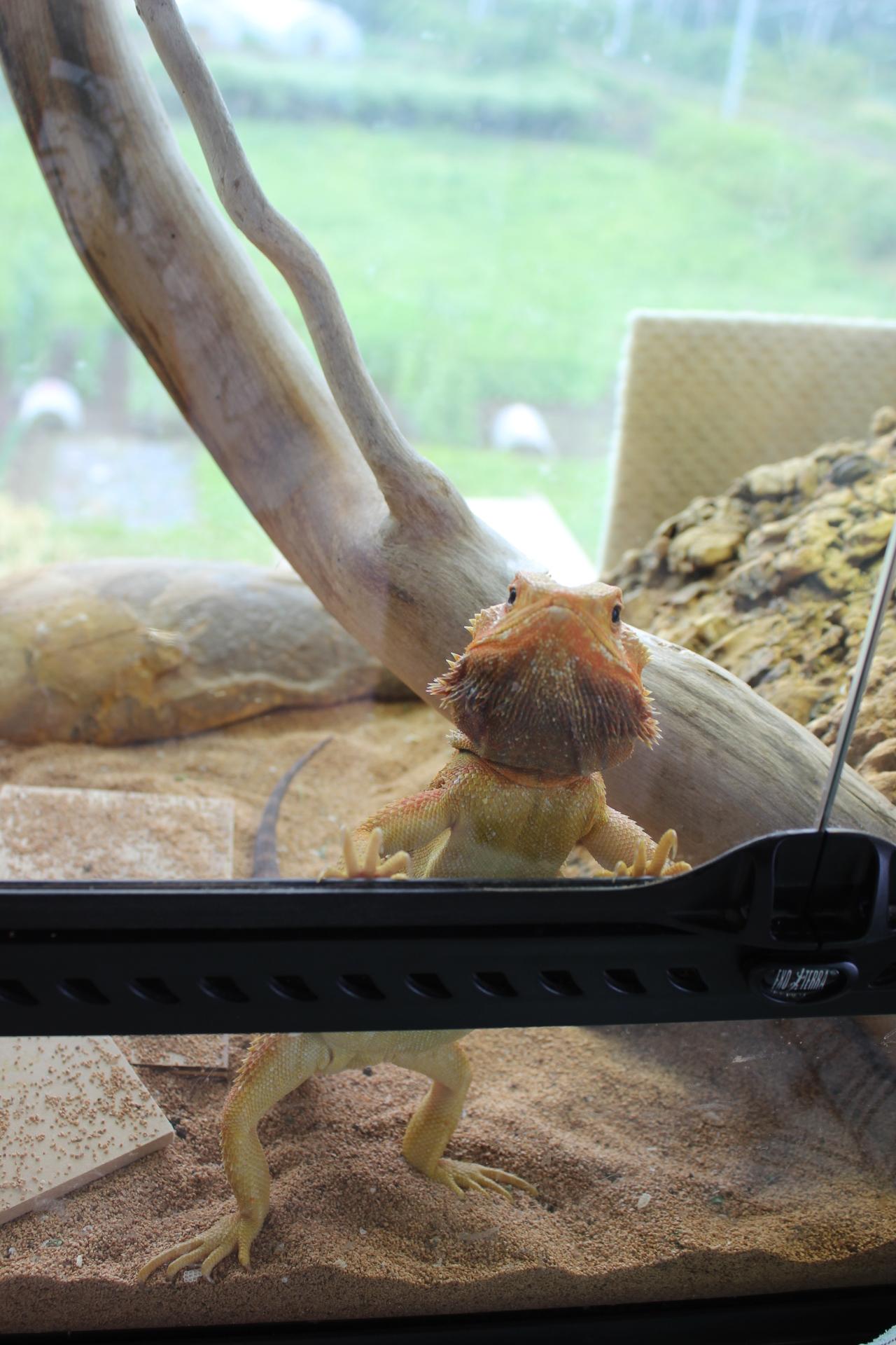 かわいいフトアゴヒゲトカゲ